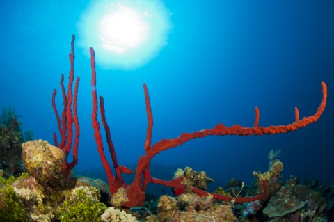 Cayman Islands Coral